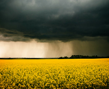 canola storm