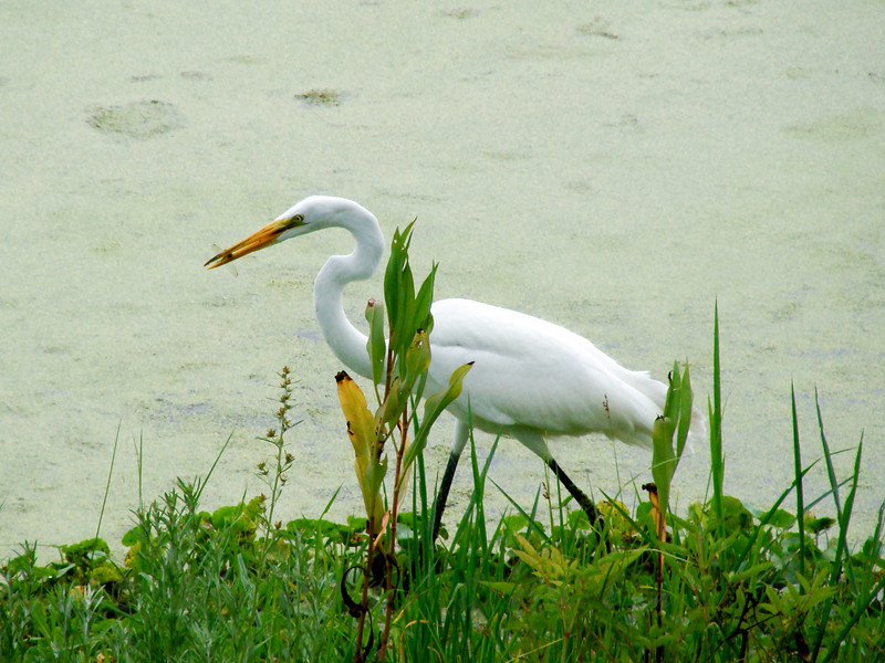 One from the archives... Look closely - this Great Egret just caught a dragonfly! Breakfast is served...
