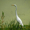 Elegant Great Egret. Photograph taken at an old Plantation outside of Charleston, South Carolina.
