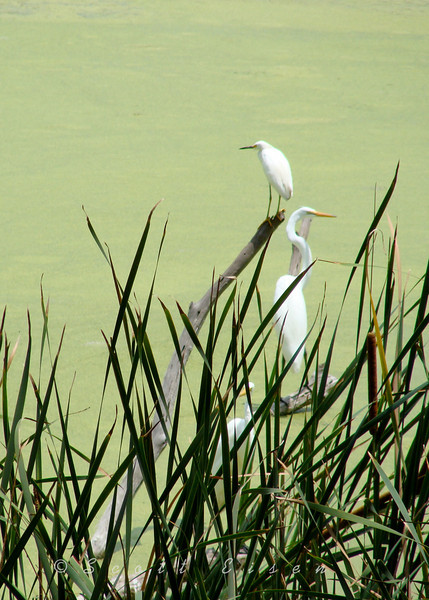 Snowy Egret & Great Egret perched on a dead tree branch hunting for breakfast.