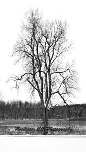 Tall tree stands in Mendon Ponds Park.