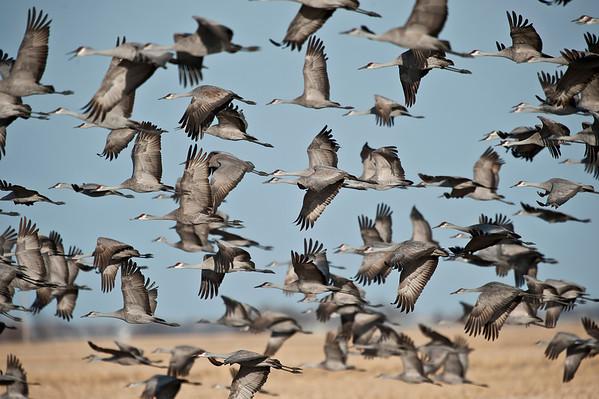 Nebraska Crane Migration 2013 (Click photo to see more)