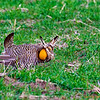Prairie Chicken - Male in Courting Display
