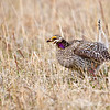 Sharp-tailed Grouse - Male in Courting Display