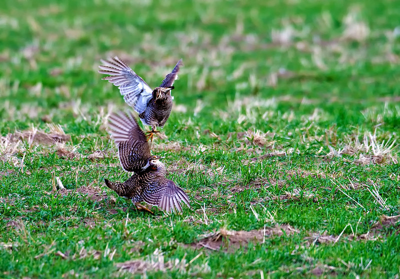 Male Prairie Chickens fighting