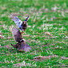 Male Prairie Chickens fighting
