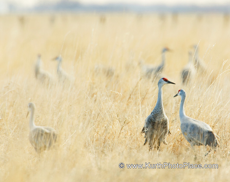 This crane is keeping watch as his companions search the prarie for the first juicy bugs of the new year.