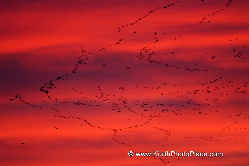 "Flocks of cranes fly together.  They don't usually make the ""V"" shape that geese are known for.  Instead, they fly in undulating lines that thread across the sky."