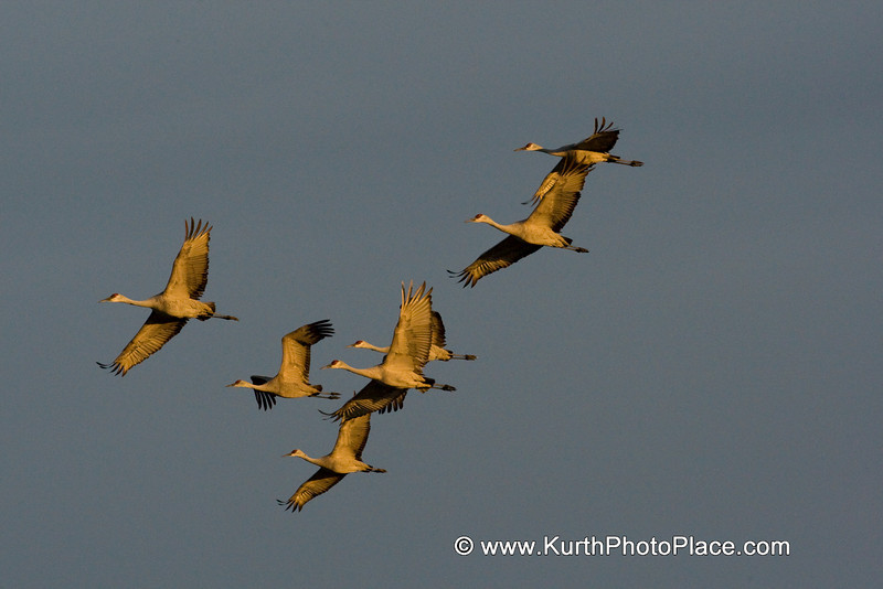 The rising sun illuminates the underside of this flock of cranes.