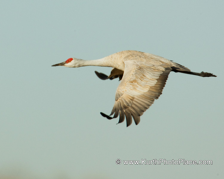 Cranes spread their wings to catch the thermal drafts.  This will decrease the energy needed for their thousands of migration miles.