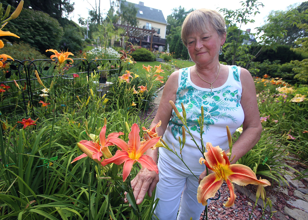 . Mary Lee Harrington of Lowell with Nesmith daylilies which she located at Elm Bank and brought back to Lowell. These varieties are Mayflower (1951), center, and Gay Nineties (1957), right. (SUN/Julia Malakie)