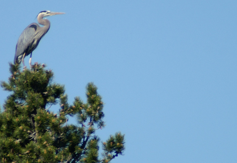 Great Blue Herons and environs