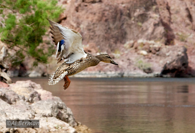 Arizona Hot Springs Trail, duck in flight on Colorado River