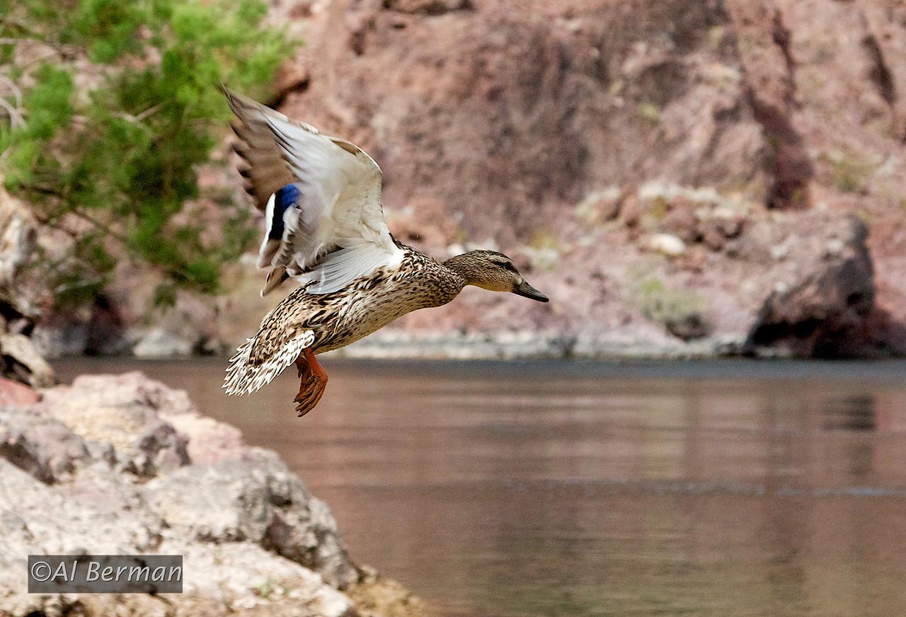 Arizona Hot Springs Trail, duck in flight on Colorado River