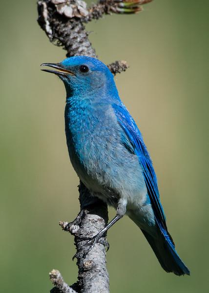 MountainBluebird_