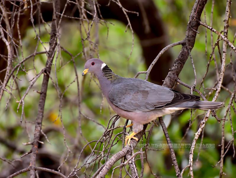 Band-tailed Pigeon 2019.4.29#121. Santa Rita Mountains, Arizona.