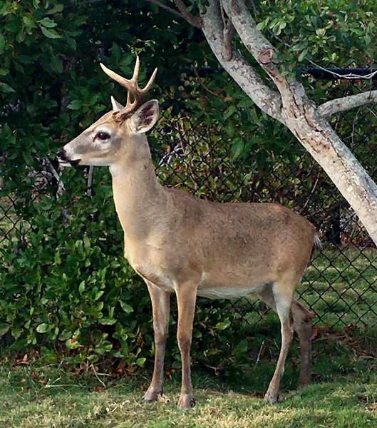 The endangered Key Deer. 2020.1.31#4217.3. Big Pine Key, Florida. Photo by Guy J.
