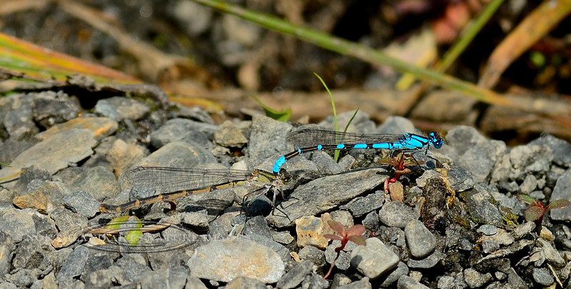 DDF-Damselfly, Northern Bluet 2016.7.18#133. Male & female pair in tandem. Seward Alaska.