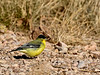 Goldfinch, Lesser. Coconino County, Arizona. #1128.351.