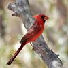 Arizona Northern Cardinal 2018.5.4#043. Apache Trail, Arizona.
