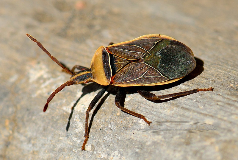 A Cactus Bug 2018.3.31#016. Chelinidea vittiger. Prescott Valley, Arizona.