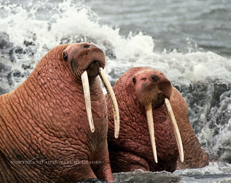 1987.9#47b3.2. Two Walrus posing for me in the surf. Near Cape Saniak, Alaska Peninsula Alaska. Salvaged and repaired from old film stock.