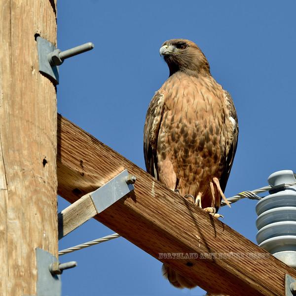 Red-tailed Hawk 2018.11.7#227. A dark phase. Near Elfrida Arizona.