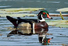 Wood Duck. One of the most handsome of all North American Waterfowl. Rocky Mountains. #524.762.