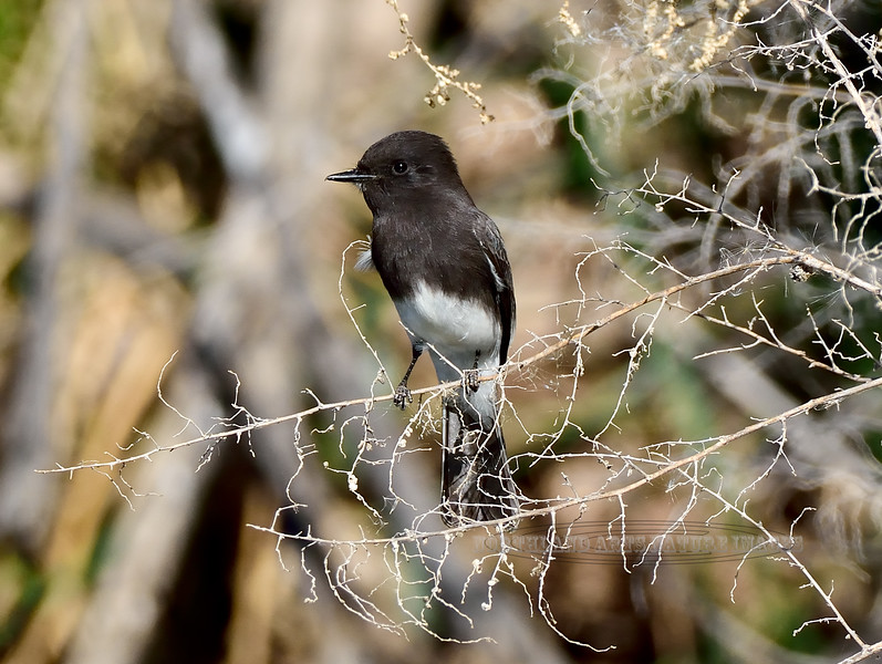 Black Phoebe 2017.12.7#1530. Gilbert, Maricopa County Arizona.