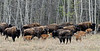 Wood Bison 2017.5.16#837-A fair sized group of cows with almost an equal number of new calves. Alaska Highway west of Liard, British Columbia Canada.