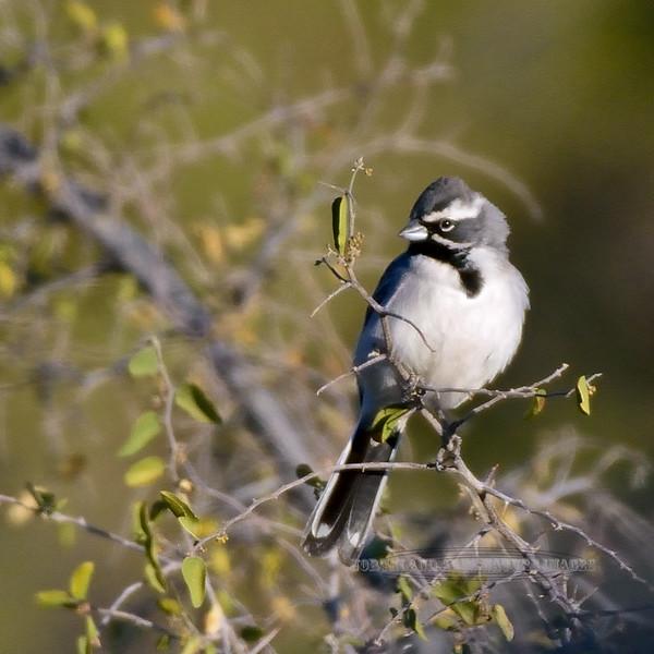 Sparrow, Black-throated. Pinal County, Arizona. #1214.1839.