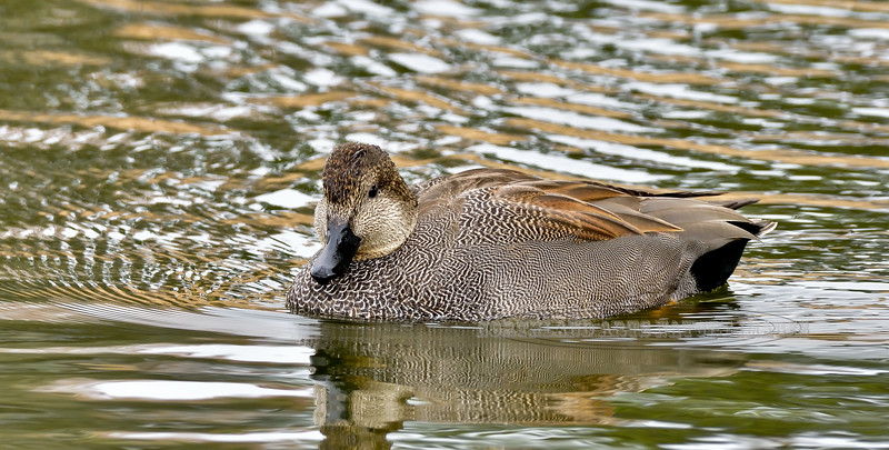 Gadwall Duck. Yavapai County, Arizona. #1117.068.