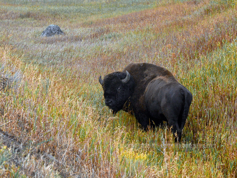Plains Bison 2017.9.14#1323. At first light East of tower Junction,  Yellowstone Park Wyoming.