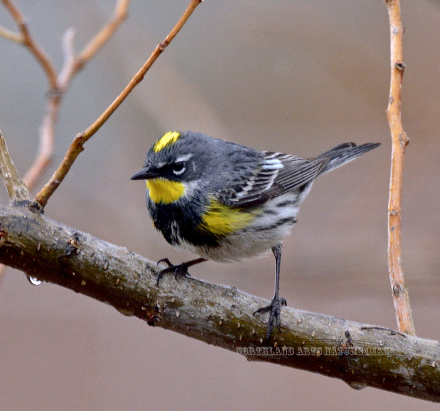 Yellow-rumped, Audabon's Warbler 2021.3.26#0056.3. Prescott Valley, Arizona.