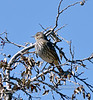 Sage Thrasher 2021.3.1#9218.3. Yarnell, Arizona.