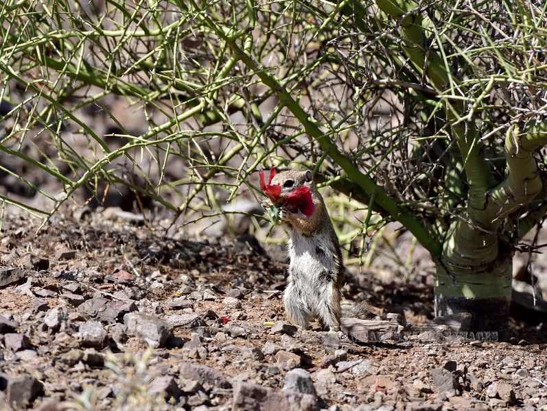 Harris's Antelope Squirrel 2018.4.20#009. Feeding on the inner flower parts from a Cane Cholla blossom. Picacho Peak, Pima County Arizona.