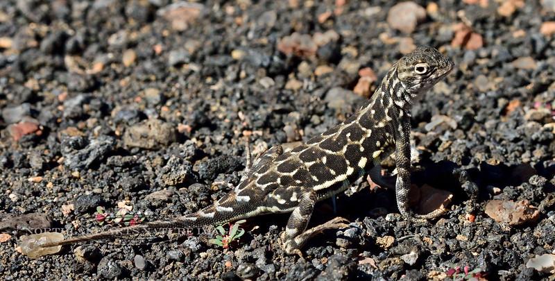 The Common Lesser Earless Lizard 2018.10.26#709. Holbrookia maculata. Box Canyon, Wupatki Nat. Monument Arizona.