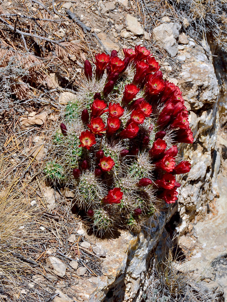 The Scarlet Hedgehog 2018.4.26#272. Echinocereus coccineus. South rim of Grand Canyon Nat. Park,Arizona. See Flora of Western US for more images.