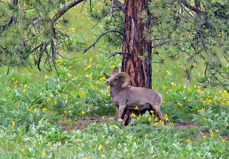 2015.5.17#032.3. A Rocky Mountain Bighorn ram is busy rubbing last years hair off on a Ponderosa Pine. High on a  rolling mountain surrounded by Arrow Leaf Balsamroot. The Balsamroot is an important forb the sheep graze on this time of year. Montana.