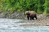 Brown Bear 2010.8.12#186.8. A large boar arriving on the river to catch some lunch. McNeil River, Alaska peninsula Alaska.