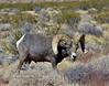 2019.10.13#1209.2. An older mature Desert Bighorn ram.