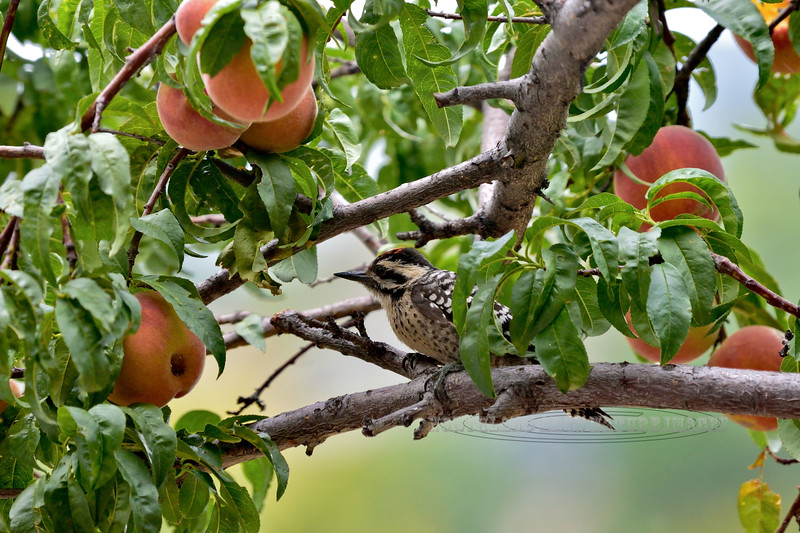 Ladder-backed Woodpecker 2018.7.28#056. Feeding on peaches. Prescott Valley,  Arizona.