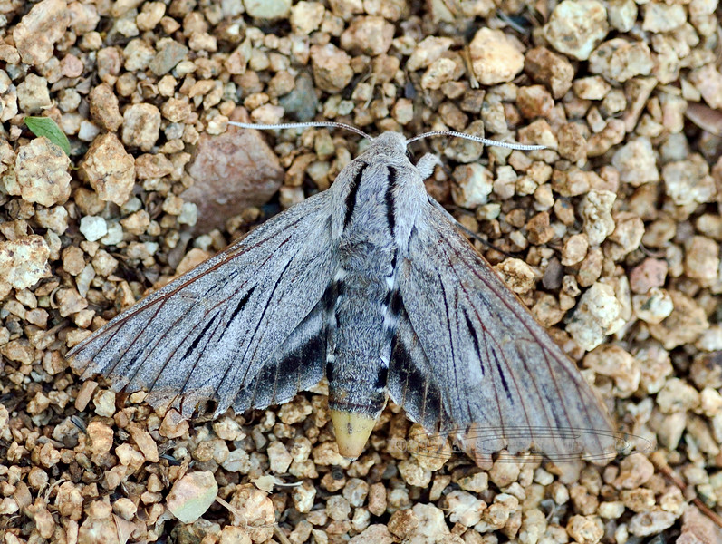 Sphinx Vashti Moth 2018.5.14#066. Prescott Valley Arizona.
