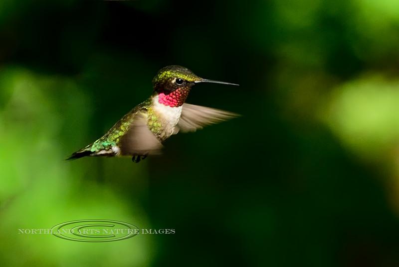 Hummingbird, Ruby-throated. Bucks County, PA. #515.320.