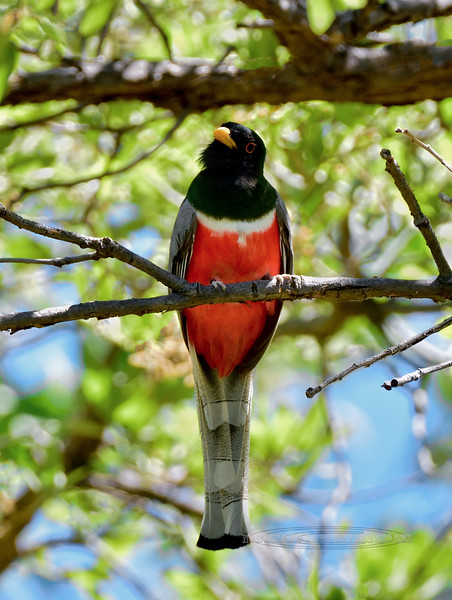 Elegant Trogon 2018.5.15#371. A male. Madera Canyon, Santa Rita Mountains, Arizona.