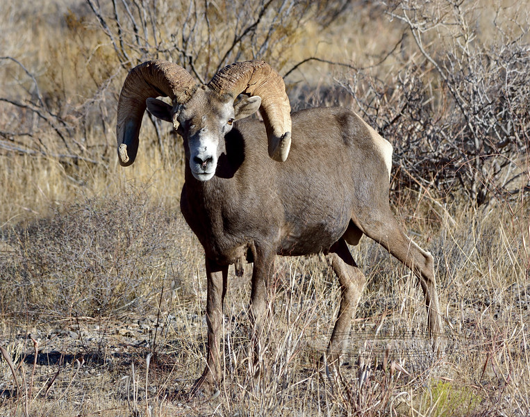 A really exceptional Desert Bighorn Ram 2021.9.29#6361.3. Photo by Guy J.