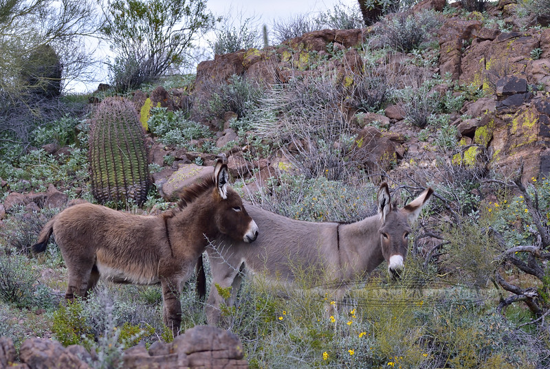 Wild Burros 2019.3.6#202. Near Lake Pleasant Arizona.