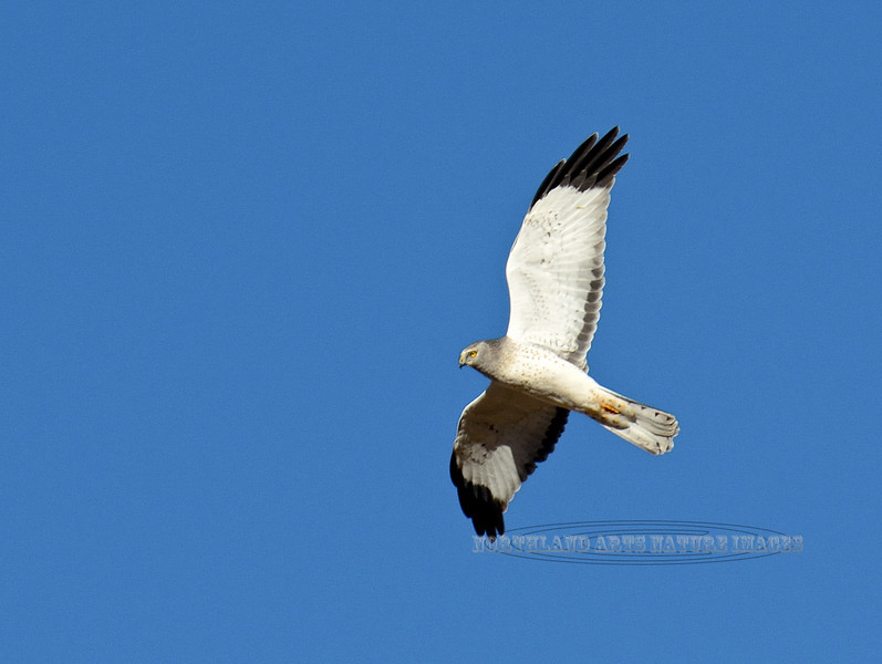 Raptors & allies-Harrier,Northern. A very light phase male. Yavapai County, Arizona.