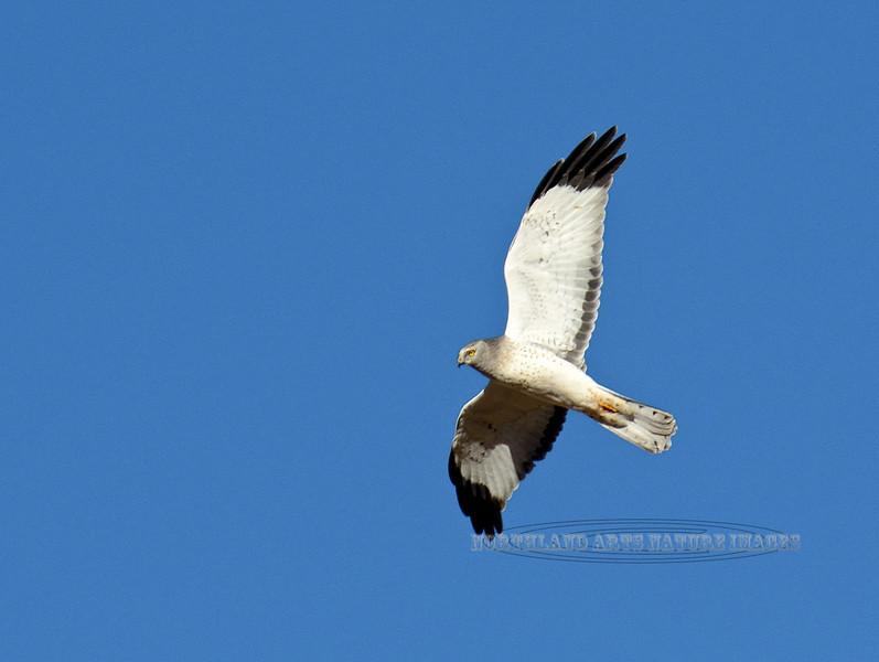 Harrier,Northern. A very light phase male. Yavapai County, Arizona.