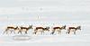 Pronghorn Antelope 2019.2.24#006. Yavapai County Arizona.